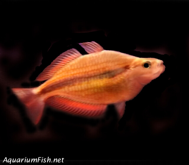Premium Rare Goyder River Trifasciata Rainbowfish