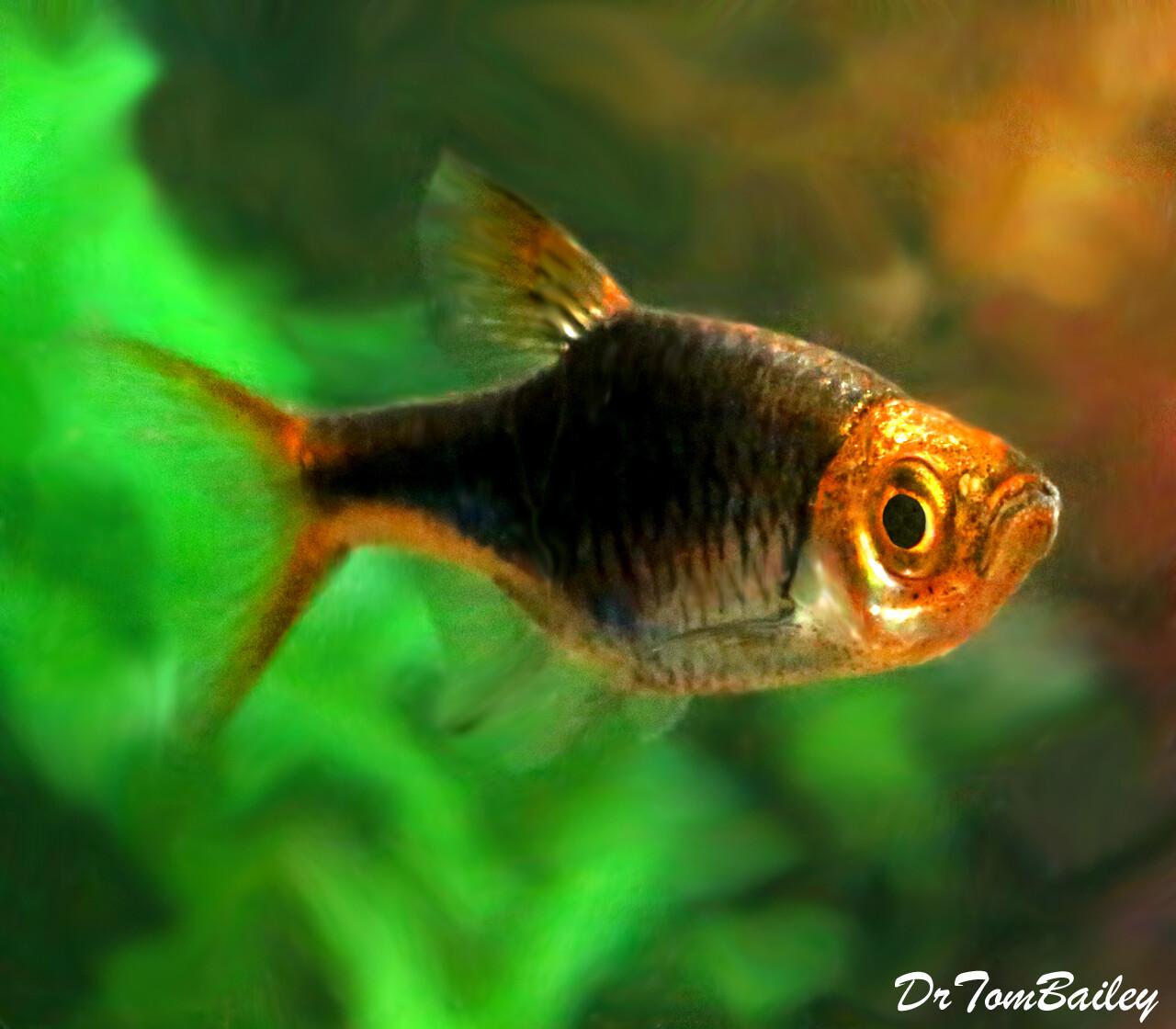 Premium Rare Black and Purple Harlequin Rasbora, Nano Fish