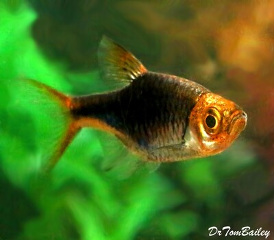 Premium Rare Black and Purple Harlequin Rasbora, Nano Fish