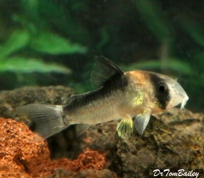 Premium Rare and New, Adolfoi Corydoras Catfish, Tank Raised