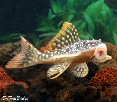 Premium, Rare and New, Tank Raised Sunshine Pleco, Scobinancistrus aureatus, L014