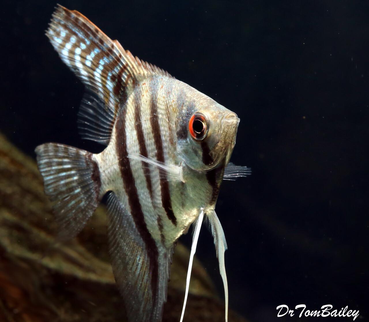 Premium Tiger Angelfish