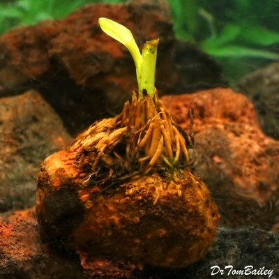 Premium and New, Live Aponogeton Ulvaceous Plant Bulb