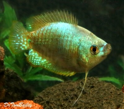 Premium FEMALE Young Neon Blue Dwarf Gourami