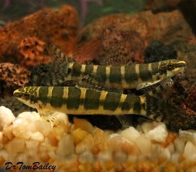 Premium New and Rare, WILD Serpent Loach, Serpenticobitis octozona