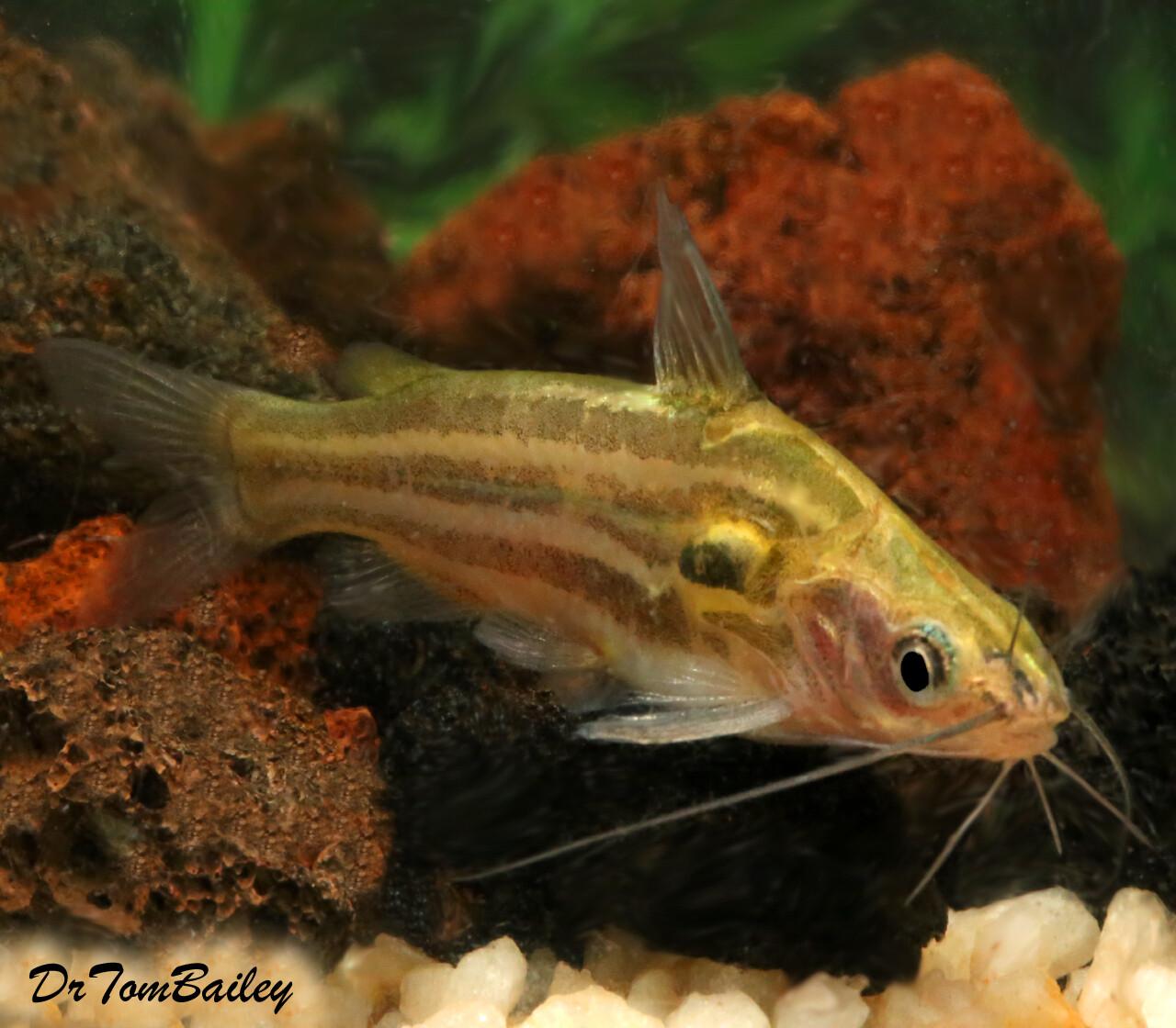 Premium WILD, Rare Golden Mystus Tengara Catfish