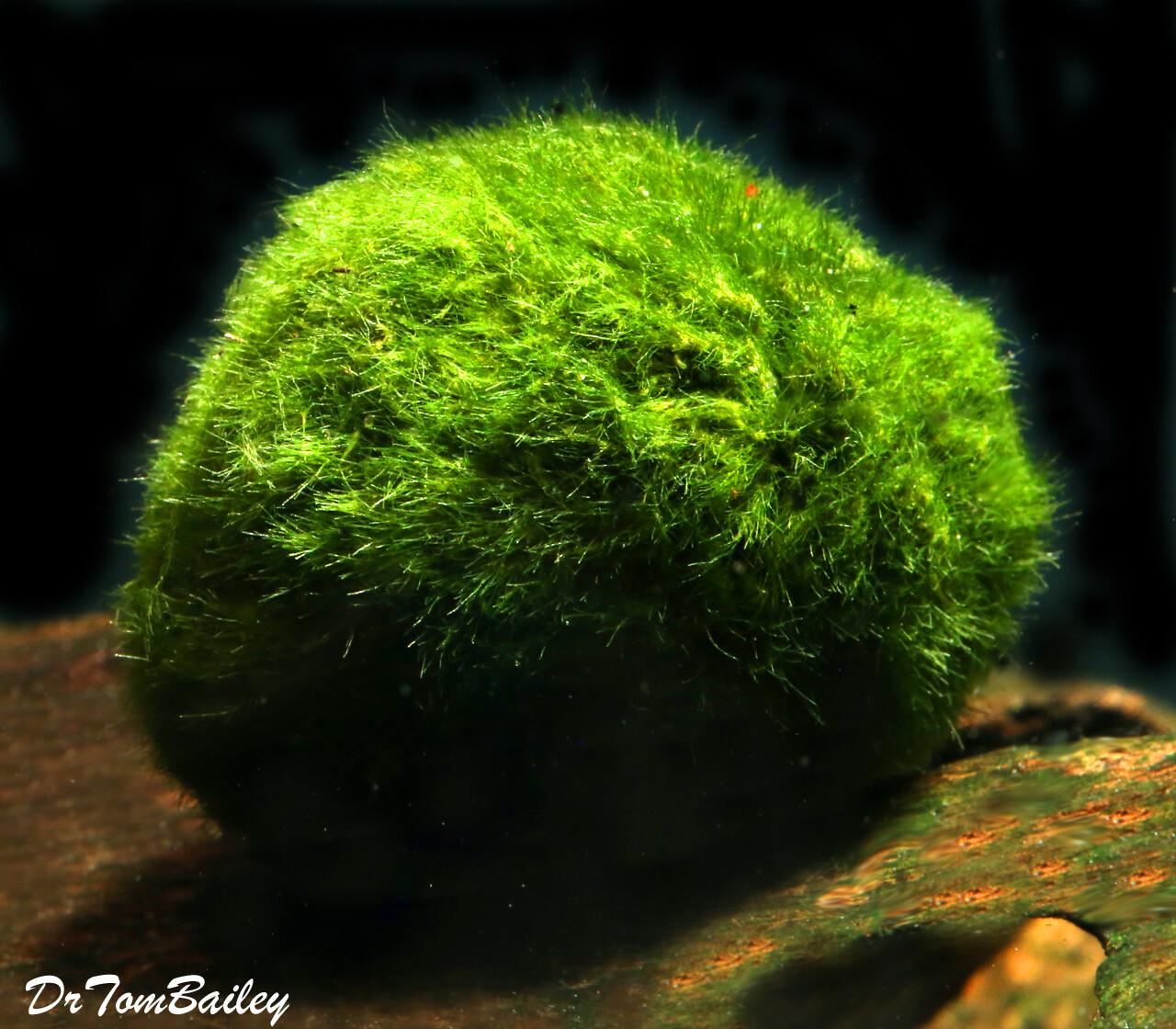 Premium Marimo Moss Ball Plant