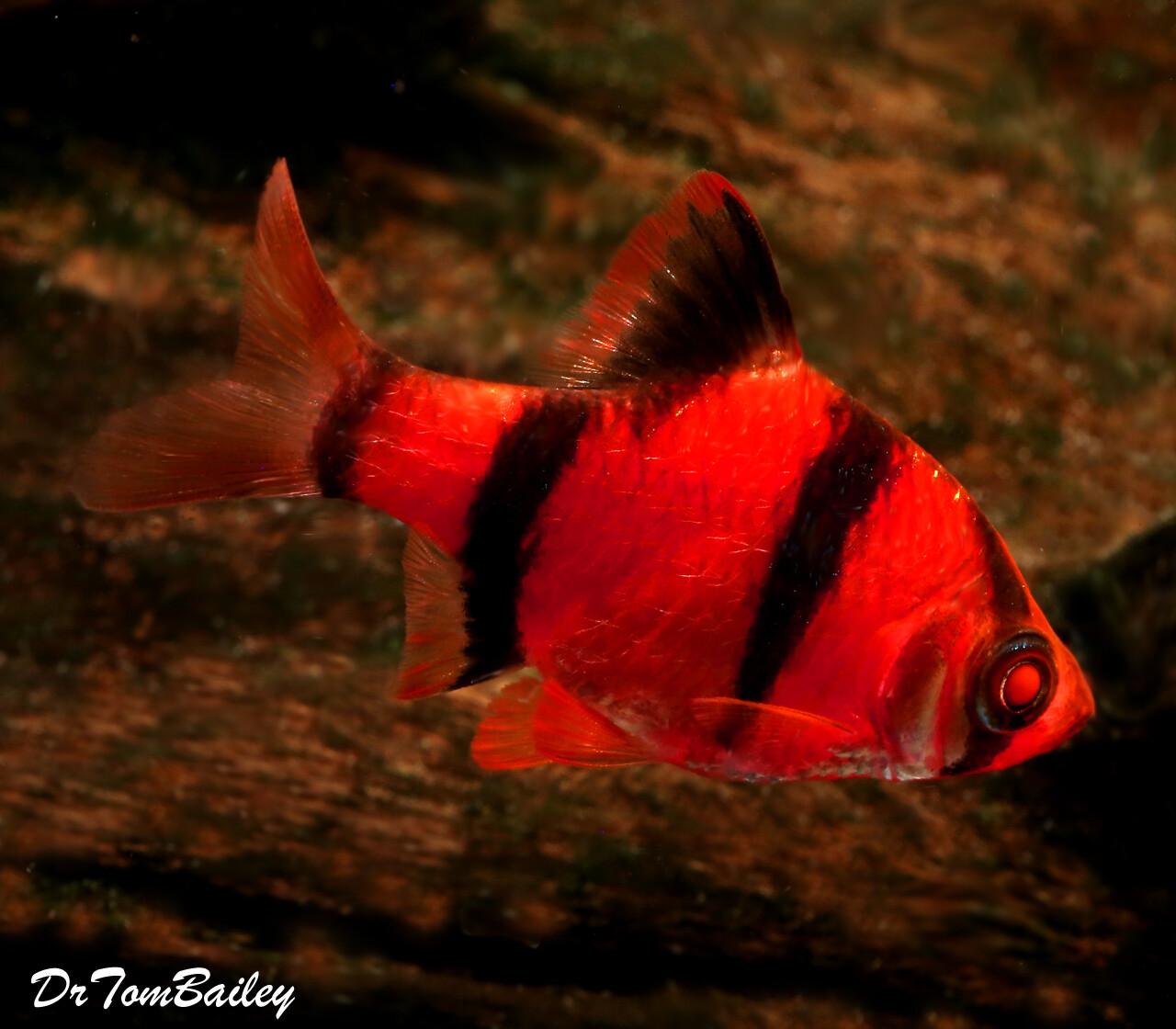 Premium New Starfire Very-Red GloFish Tiger Barb