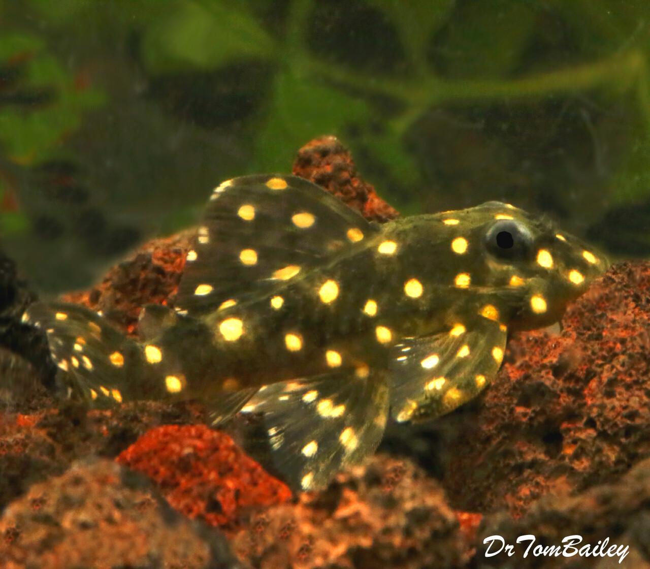 Premium Rare WILD, Mustard Spot Pleco, Panaqolus albomaculatus, LDA031
