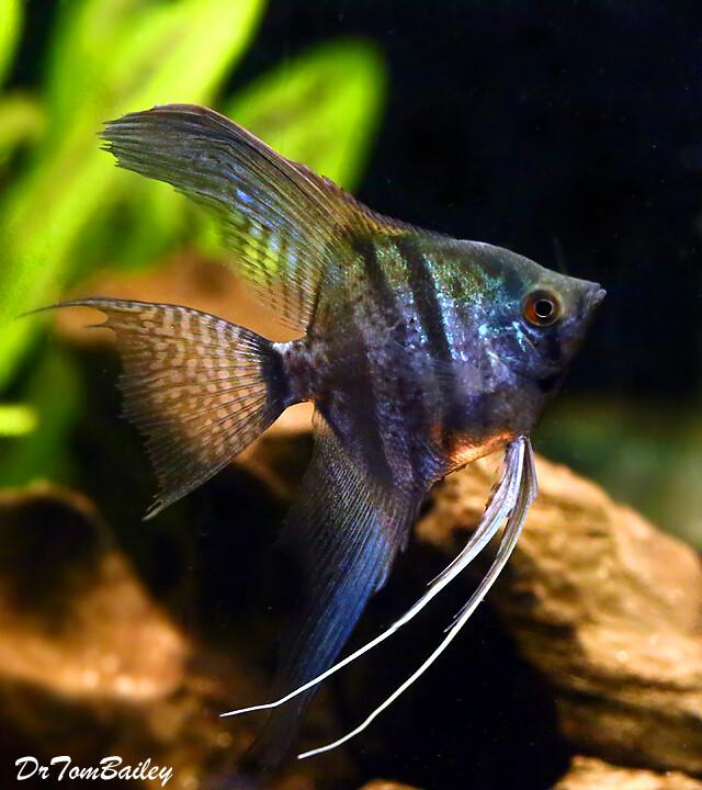 Premium Zebra Lace Angelfish