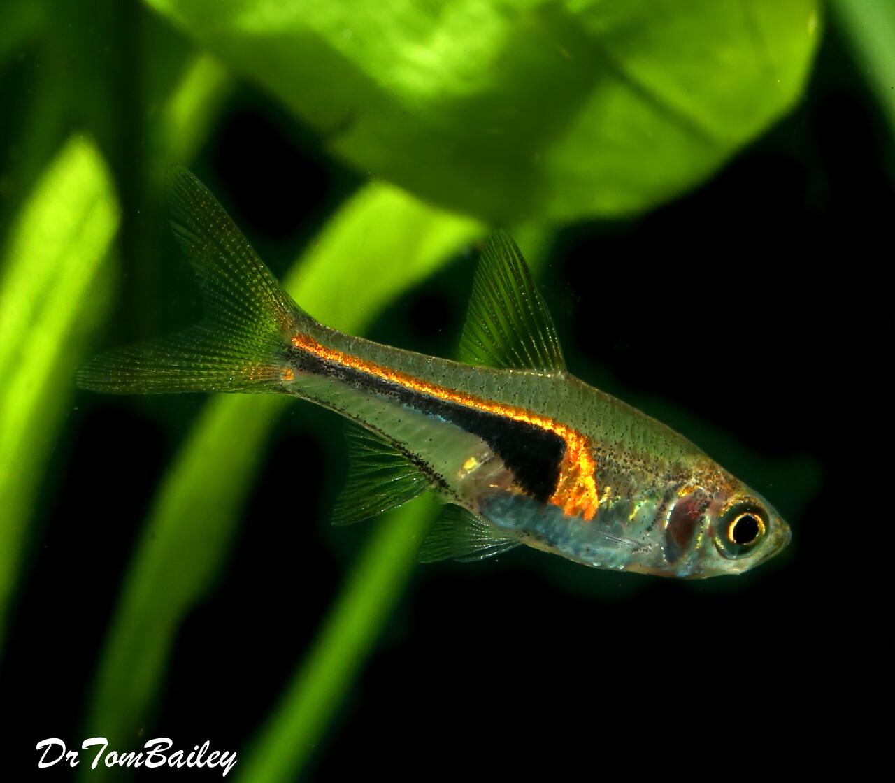 Premium WILD, Glowlight Rasbora, Nano Fish
