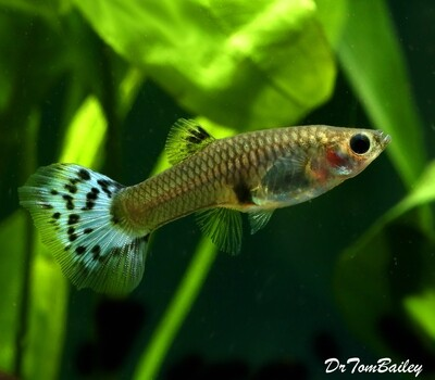 Premium FEMALE Blue Variegated Fancy Guppy