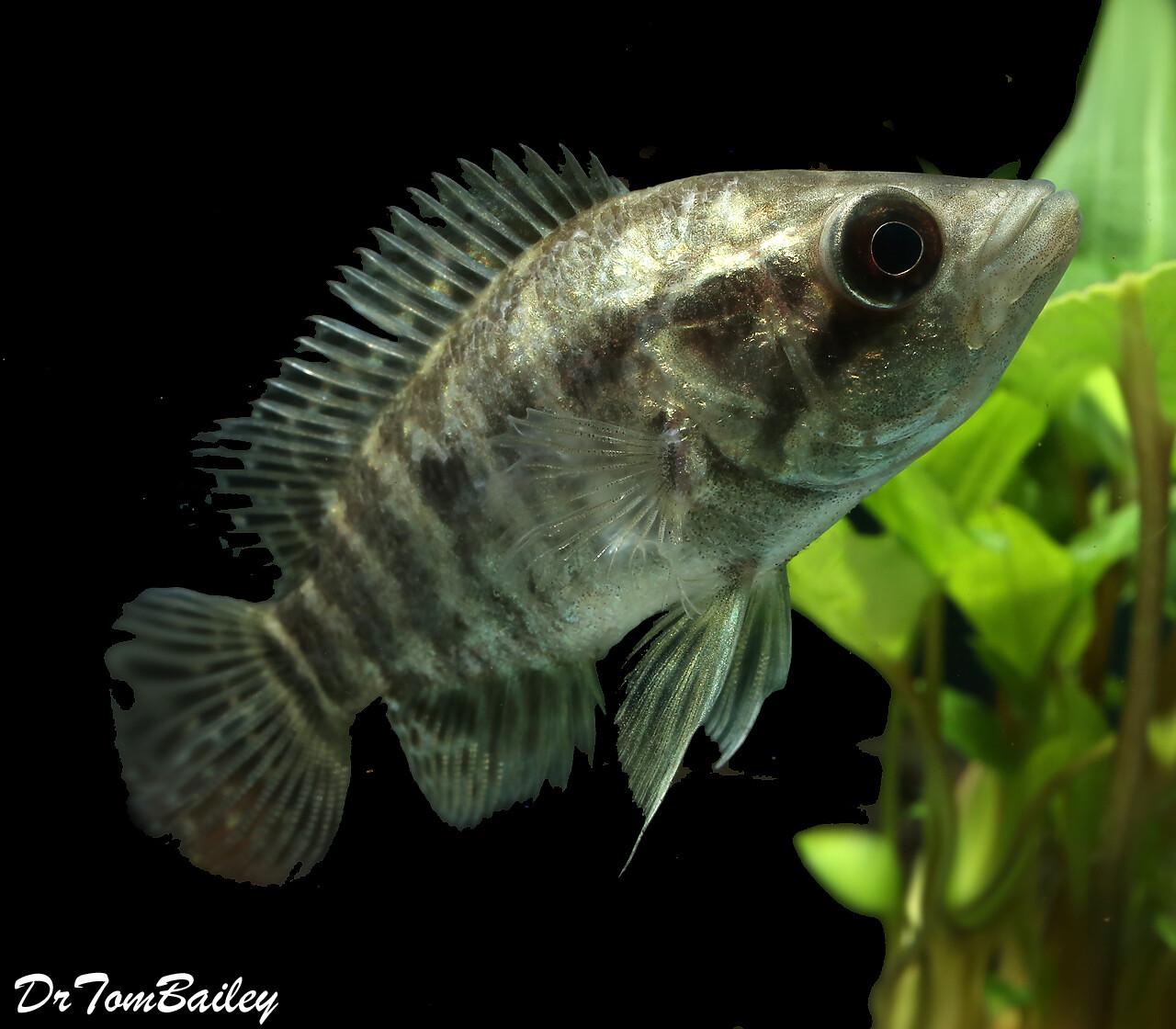 Premium New Rare, Jaguar Cichlid, Parachromis managuensis