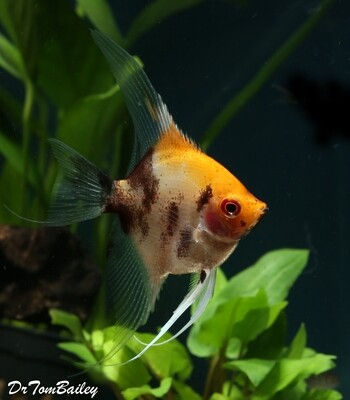 Premium New Rare, Ruby Head Koi Angelfish, WYSIWYG. In our Tank G-12