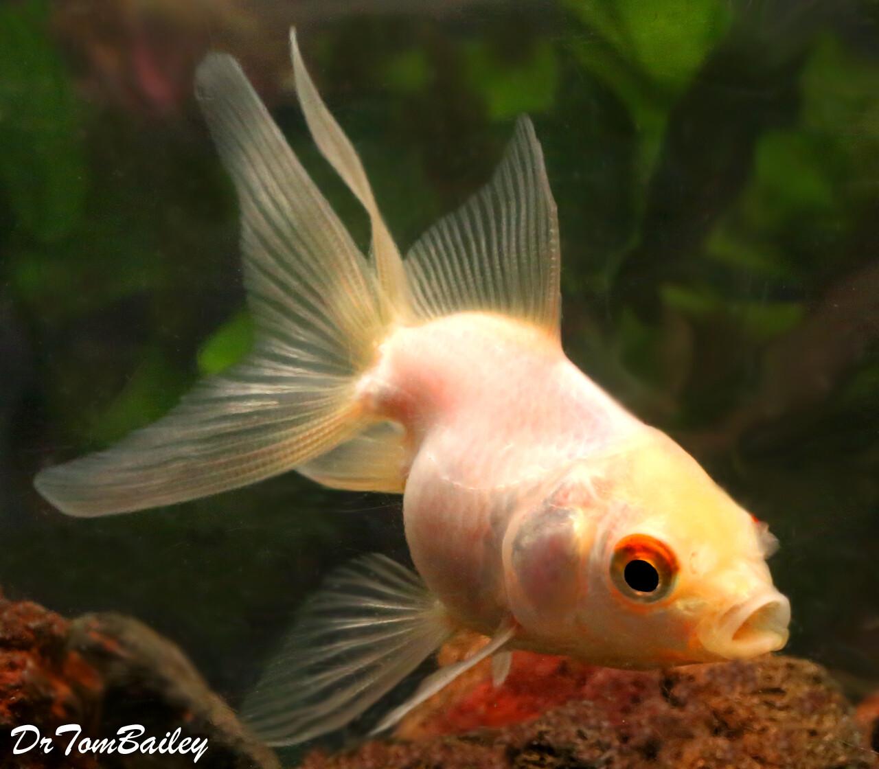 Premium Pearl White Fantail Goldfish
