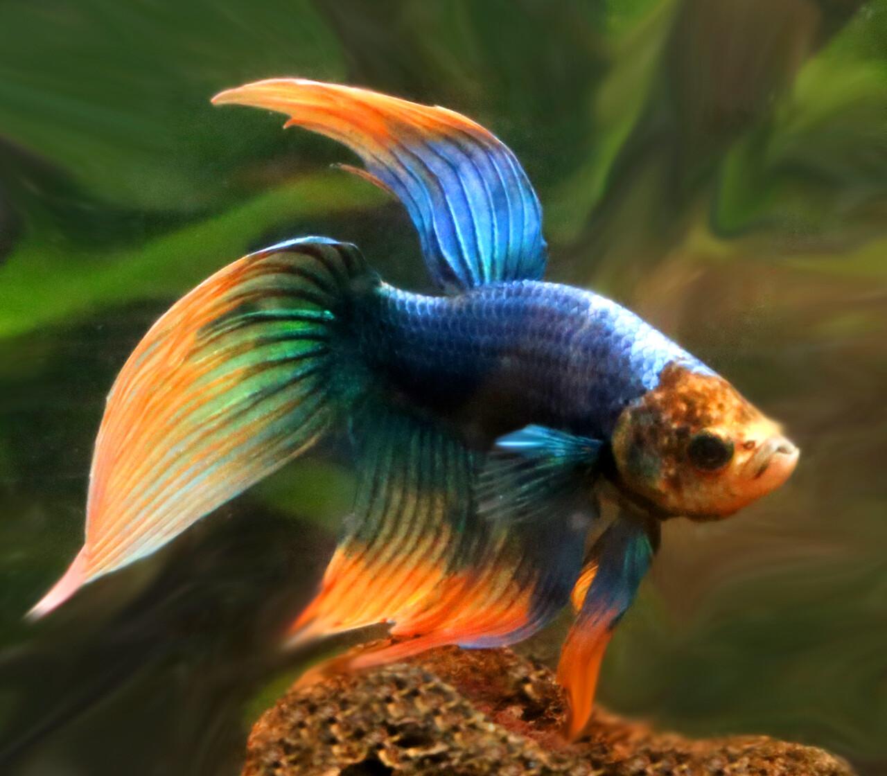Premium WYSIWYG, MALE Unique Betta Fish