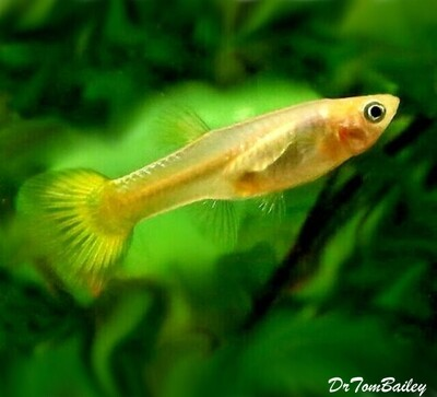 Premium FEMALE Gold Cobra Fancy Guppy