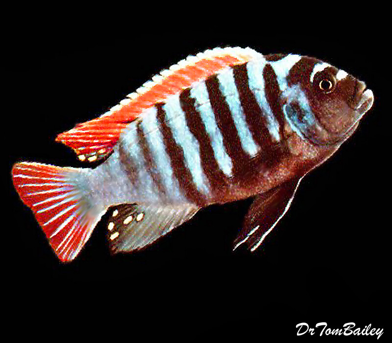 Premium Clown Afra Mbuna Cichlid from Jalo Reef in Lake Malawi
