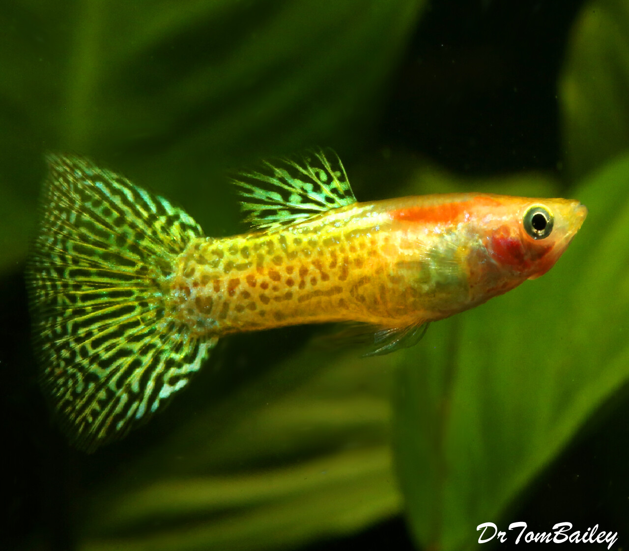 Premium MALE Gold Cobra Fancy Guppy