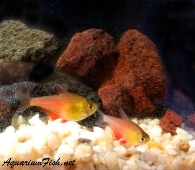 Premium Rare and New, Orange Tetra von Rio