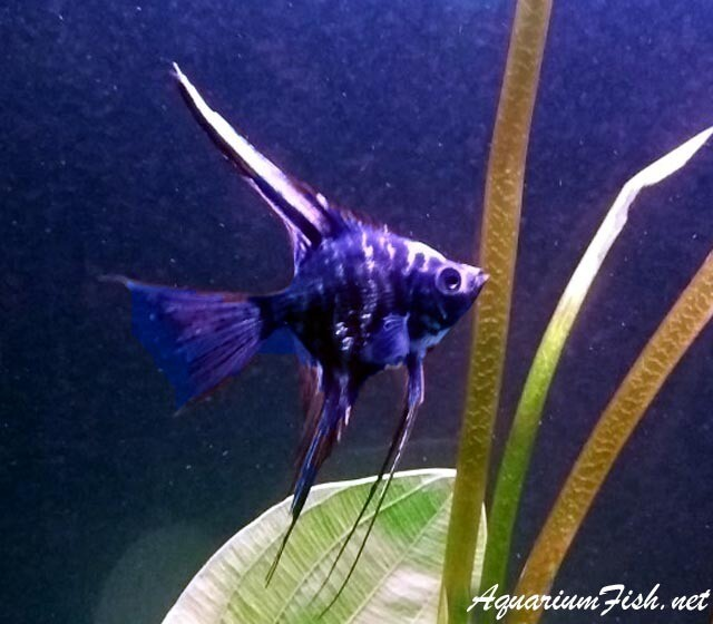 Premium Rare and New, Blue Marble Veil Angelfish