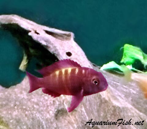 Premium Rare and New, Lake Tanganyika Bemba Orange Flame Tropheus Moorii Cichlid