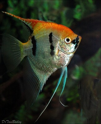 Premium Rare, Gold Marbled Pearlscale Angelfish