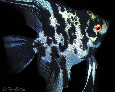 Premium Rare, Marbled Pearlscale Angelfish