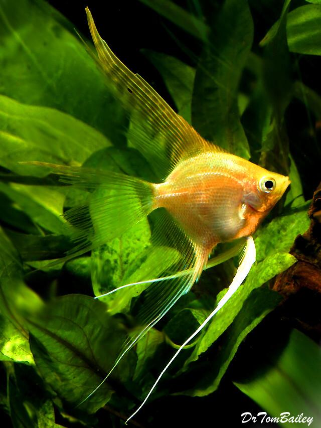 Premium Gold Veiltail Angelfish