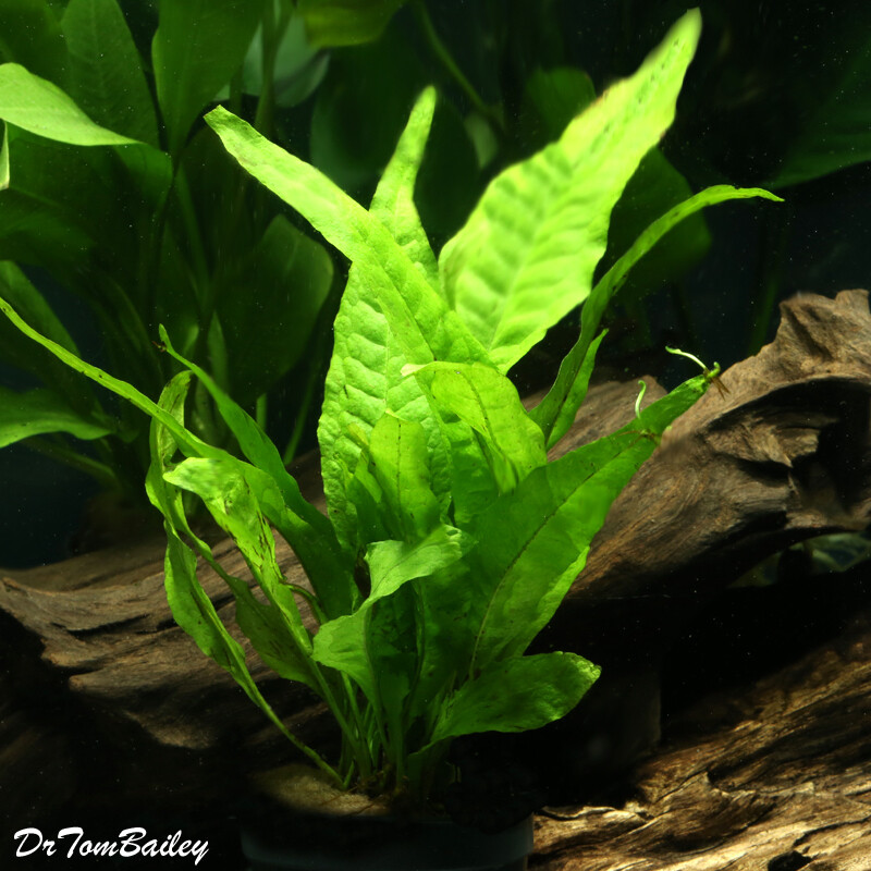 Premium Java Fern, Potted Plant