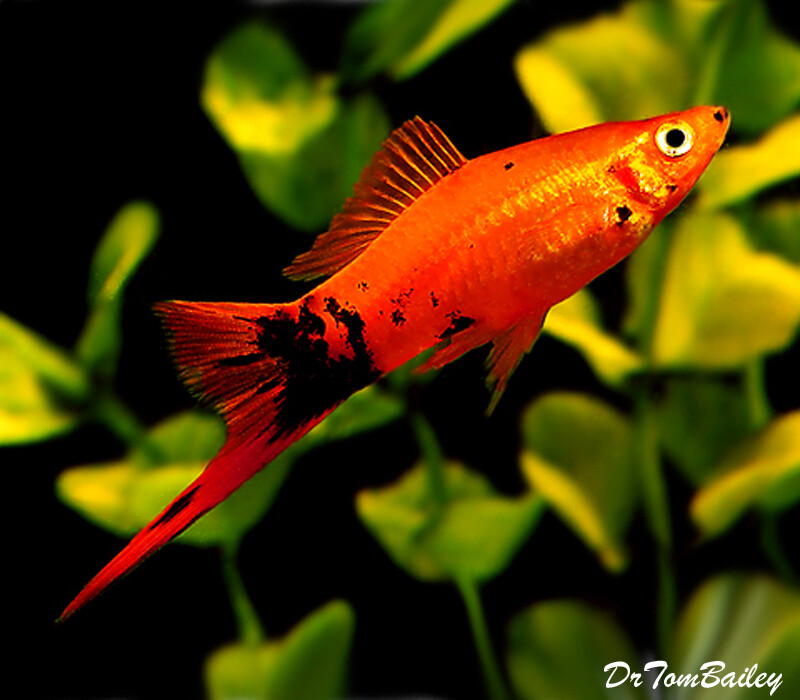 Premium Painted Swordtail