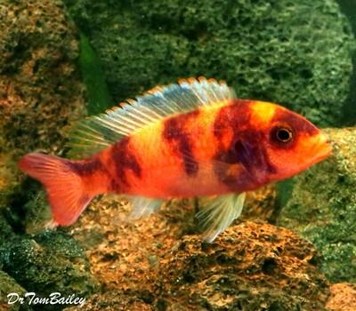 BABY OB Red Blotch Zebra Mbuna, from Lake Malawi, born here