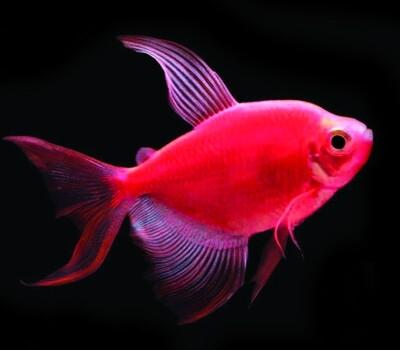 Premium Longfin Starfire Red-Red GloFish Tetra