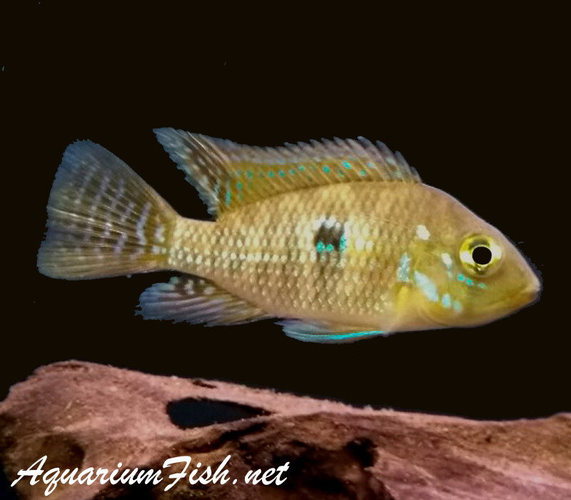 Premium Pearl Eartheater Cichlid, Geophagus brasiliensis
