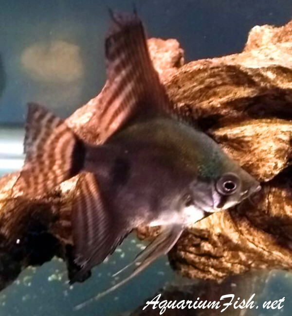 Premium Rare New, Dark Smoke Pinoy Angelfish