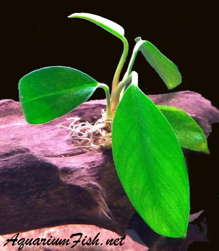 Premium Anubias Congensis, Potted Plant