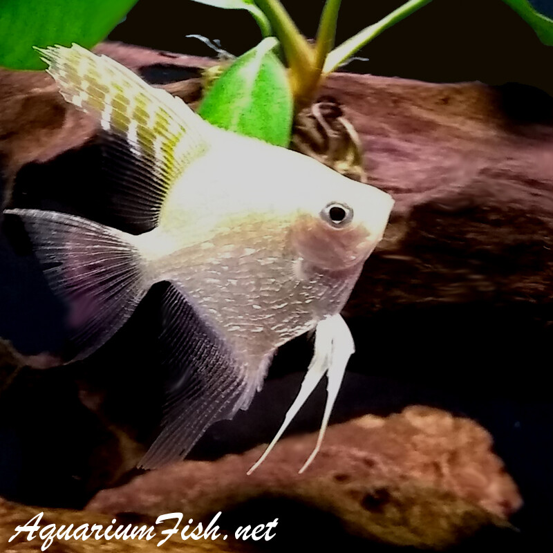 Premium Gold Pearlscale Angelfish