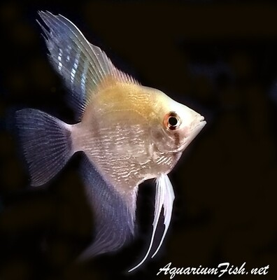 Premium Silver Pearlscale Angelfish