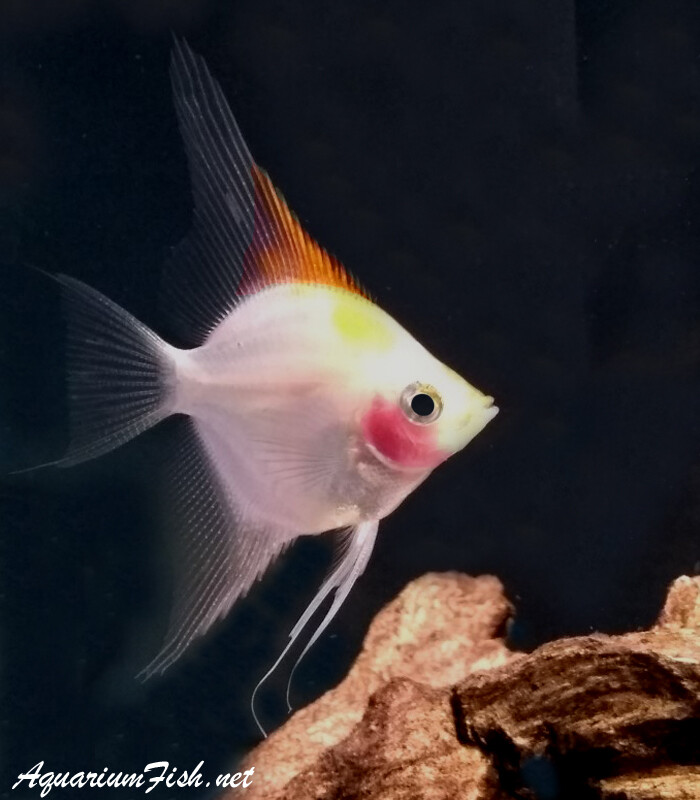 Premium Rare New, Blue Blushing Angelfish