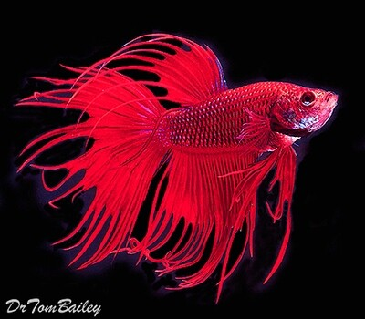Premium MALE Assorted Colors Crowntail Betta Fish