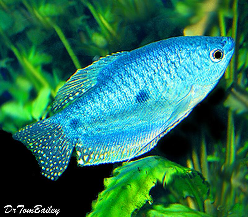 Premium Blue Gourami