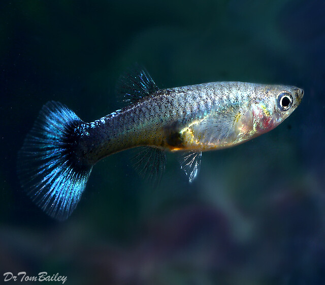 Premium FEMALE Blue Cobra Fancy Guppy