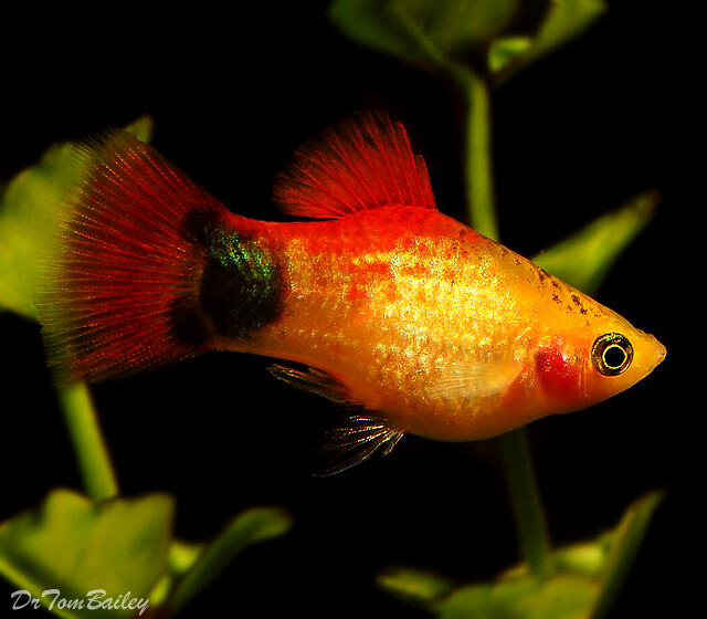 Premium Rare Orange Mickey Mouse Platy