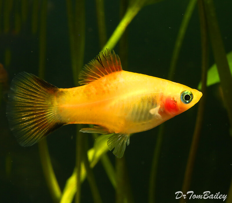 Premium Gold Twin Bar Platy