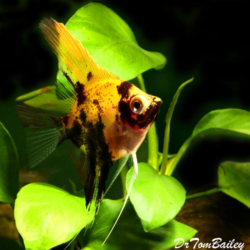 Premium Koi Angelfish