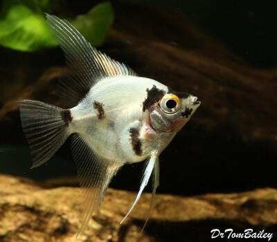 Premium Rare Panda Angelfish