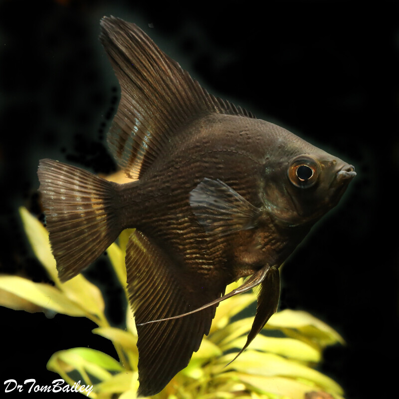 Premium Black Pearlscale Angelfish