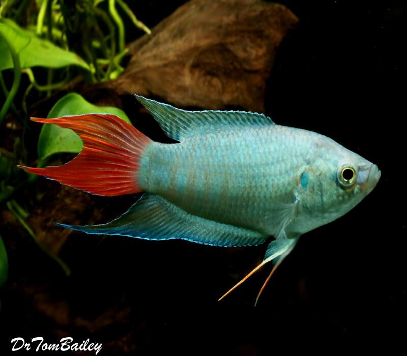 Premium Blue Paradise Fish