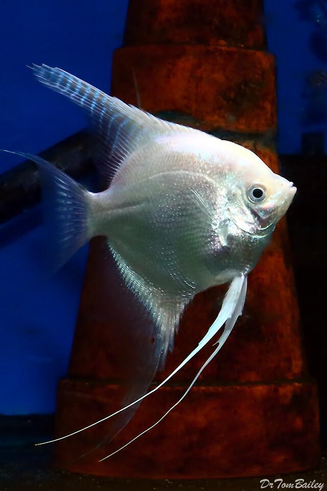 Premium Platinum Angelfish