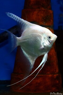 Premium Platinum Angelfish